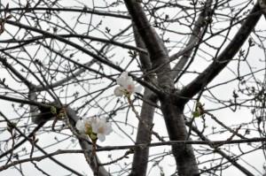 山桜3輪開花 (1024x680)